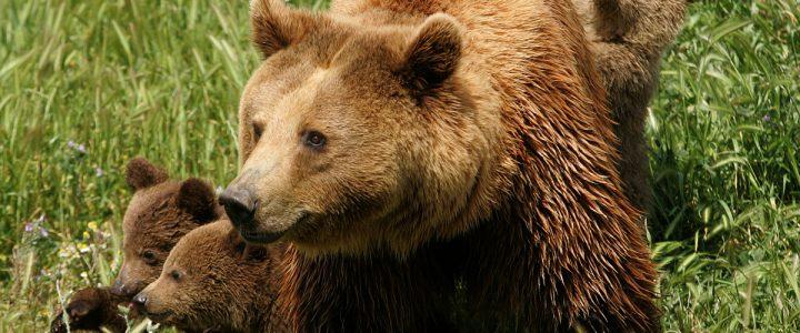 Πού ζει η καφέ αρκούδα;